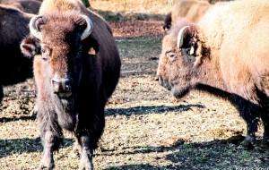 Petits plaisirs de mars Rando Recogne Ferme des bisons
