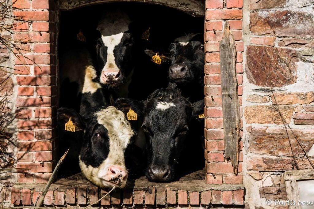 Petits plaisirs de mars Rando sur les hauteurs de Vielsalm Des vaches dans une maison abandonnée