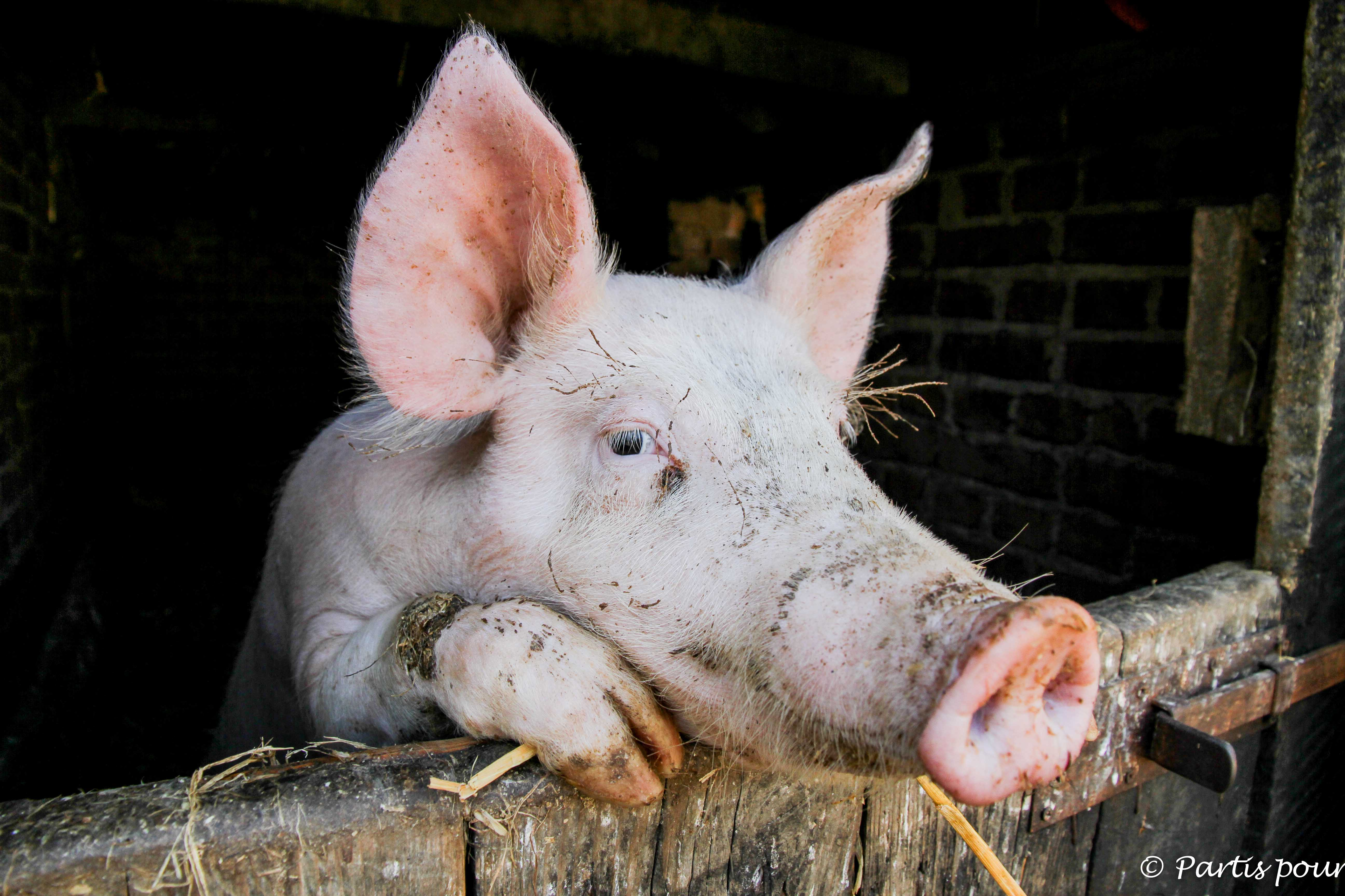 Cochon, Ecomusée d'Alsace, Ungersheim, France Une photo, une histoire
