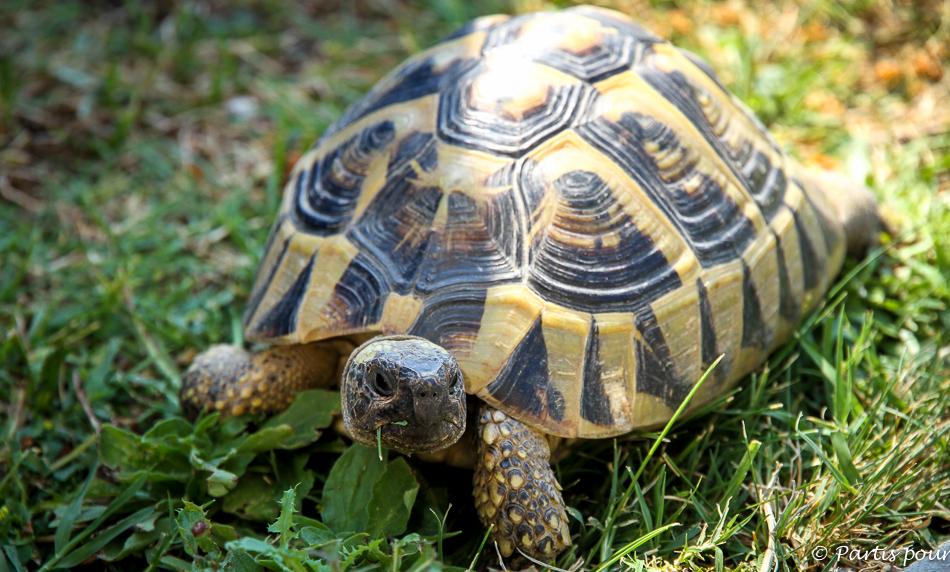 Une des nombreuses tortues du jardin, Omis, Croatie