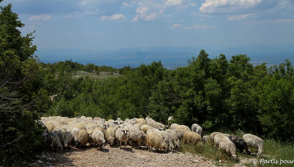 Troupeau sur le plateau de Podvelez, Bosnie-Herzégovine. Cinq jours sur les routes de l'Herzégovine
