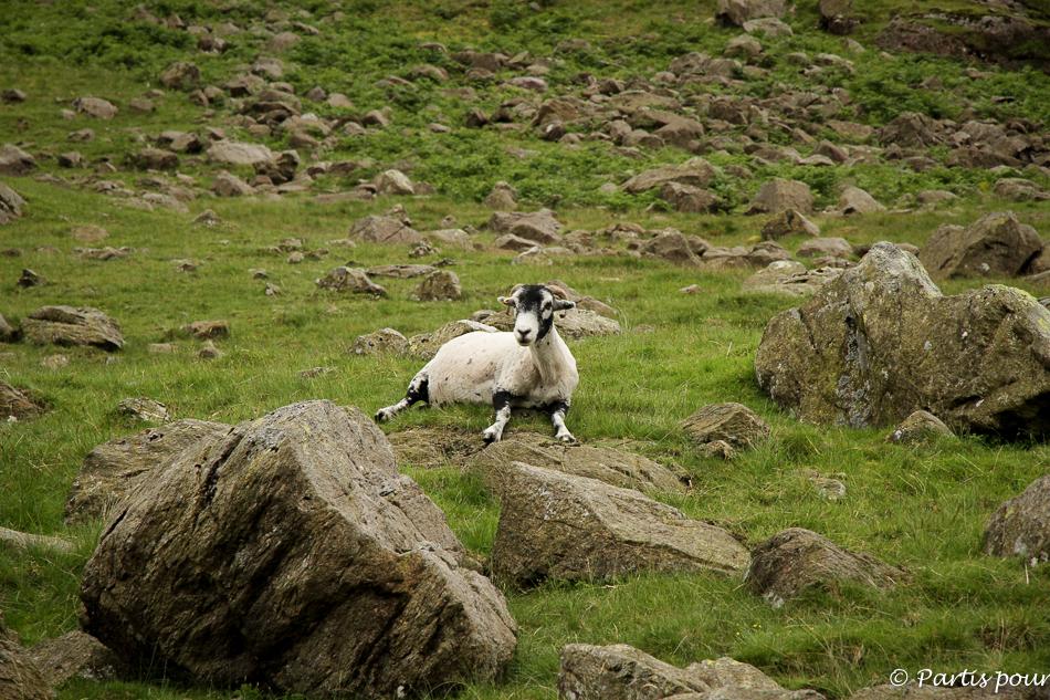 Mouton, Lake District National Park