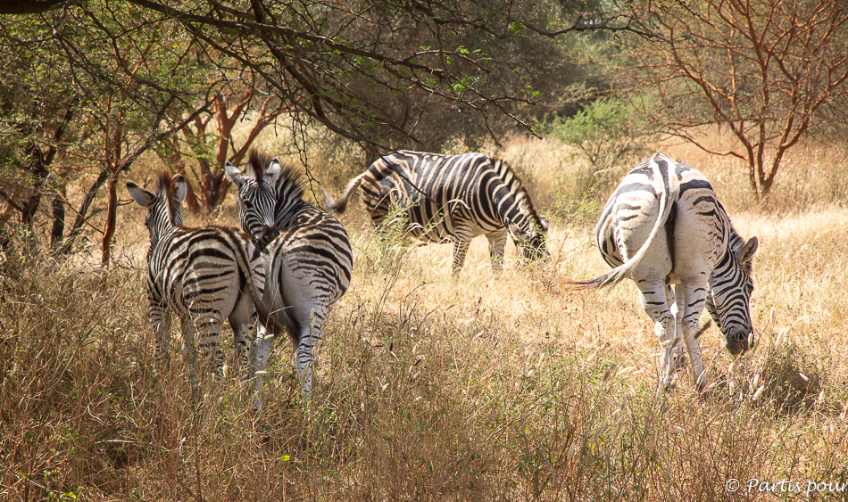 Zèbres de la réserve de Bandia au Sénégal. Itinéraire d'un voyage au Sénégal