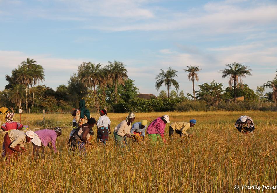 Récolte du riz à Cachouane. Itinéraire d'un voyage au Sénégal