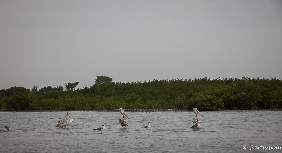 Sortie en pirogue sur le fleuve entre Sénégal et Gambie.Pélicans et mouettes. Itinéraire d'un voyage au Sénégal