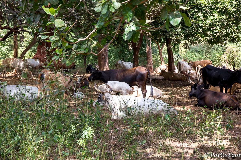Un éleveur dans la forêt des Kalounayes. Itinéraire du'n voyage au Sénégal