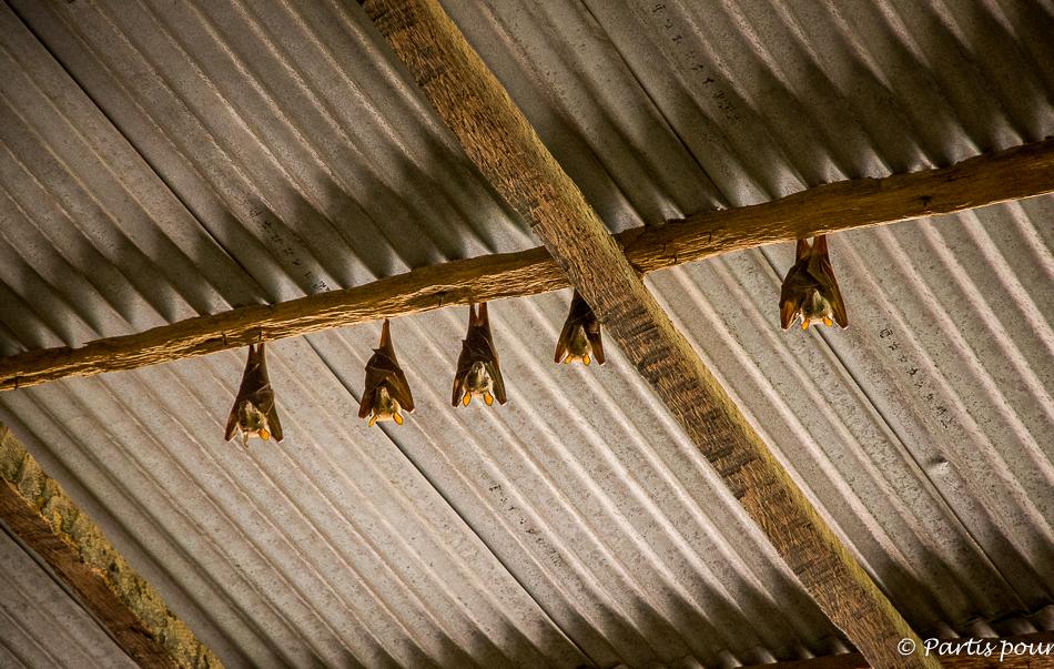 Les chauves-souris dans le grenier de la case à étages de M'Lomp. Itinéraire d'un voyage au Sénégal