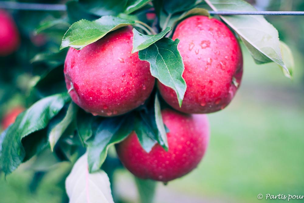 Cueillir des pommes à La Pommerai de Sigolsheim. Que faire en Aslace avec un enfant ?