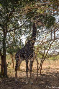 Notre première girafe en liberté dans la réserve de Bandia. Dakar avec un enfant