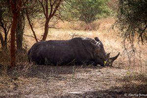 Notre premier vrai rhinocéros... Une belle rencontre à la réserve de Bandia. Dakar avec un enfant