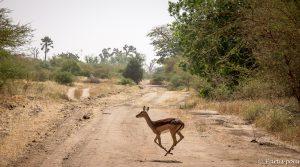 Des gazelles qui passent juste devant nous... L'émerveillement à la réserve de Bandia. Dakar avec un enfant