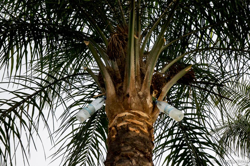 Récolte du vin de palme. Cachouane, Casamance, Sénégal