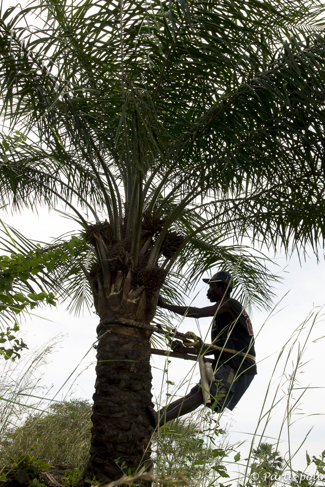 Récolter le vin de palme au petit matin. Cachouane, Casamance, Sénégal