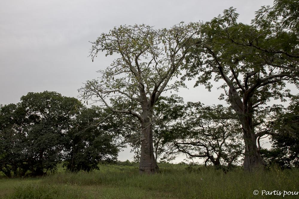Arbres emblèmes du Sénégal : le baobab et le fromager sur l'île de Dimoitout, Casamance, Sénégal