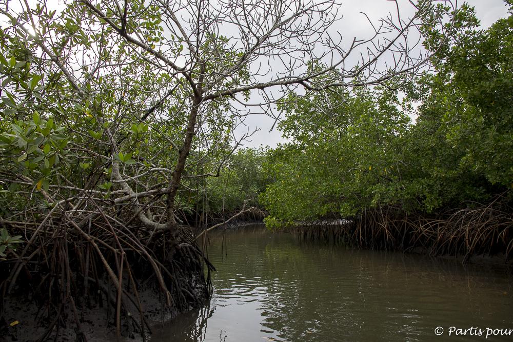 Marcher dans la mangrove en Casamance, Sénégal