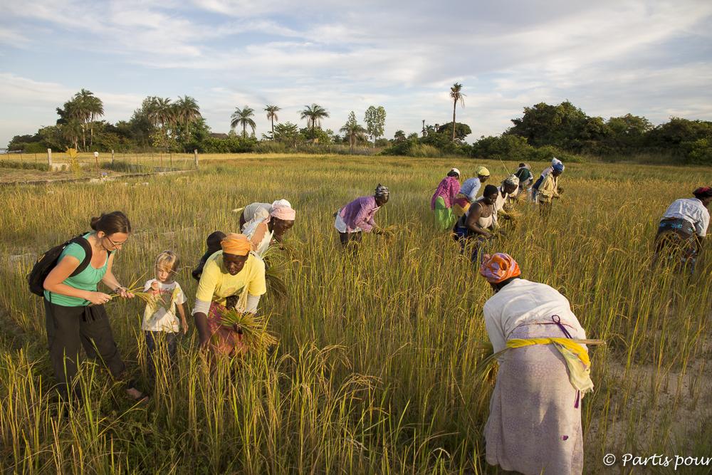 Apprendre à récolter le riz à Cachouane, Casamance, Sénégal