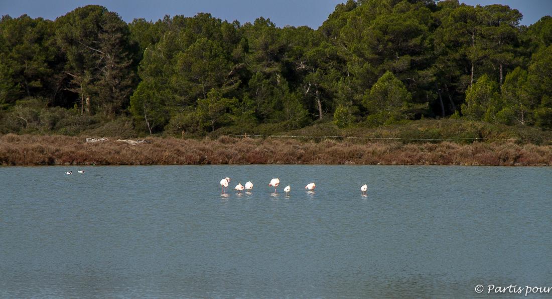 Les flamants roses. Promenades dans le bois des Aresquiers, Hérault.