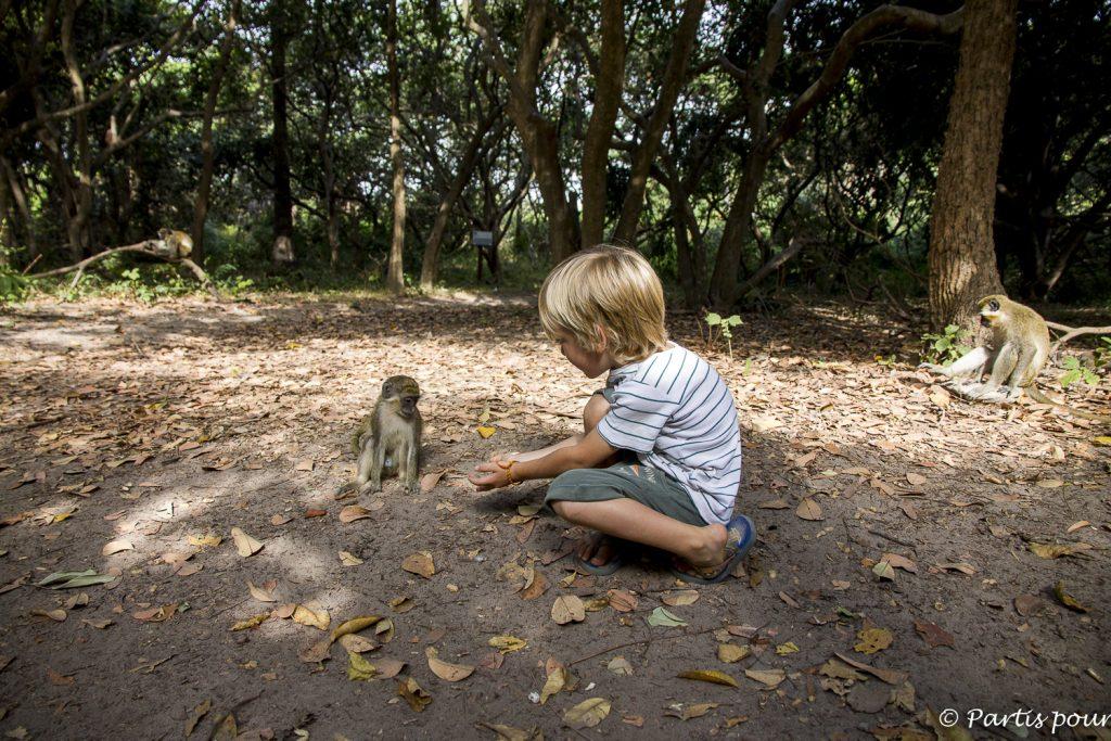 Bijilo Forest Park en Gambie... Discuter avec les vervets