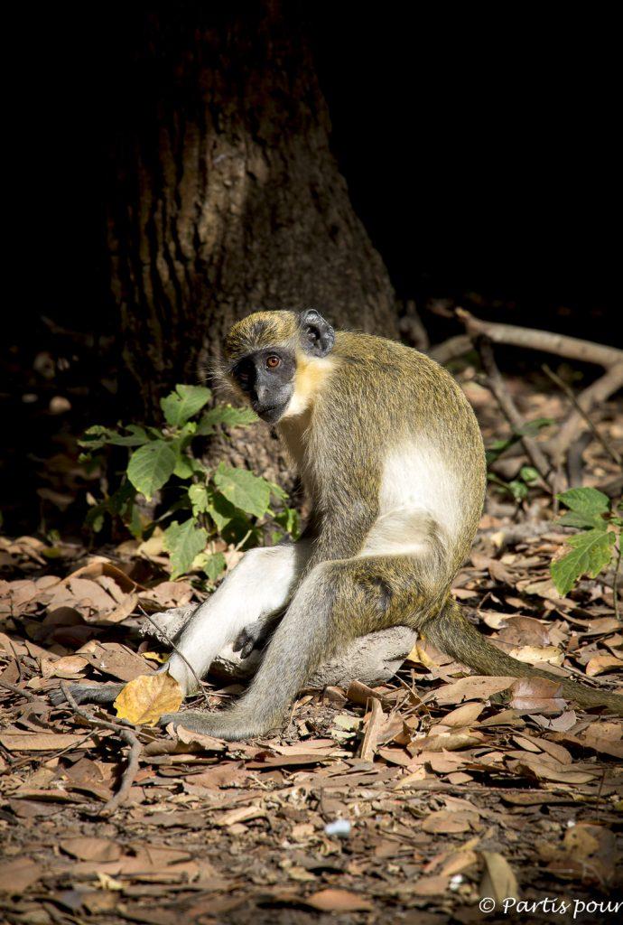 Un vervet au Bijilo Forest Park Gambie