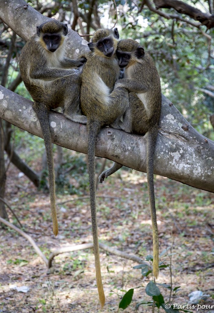 Vervets au Bijilo Forest Park