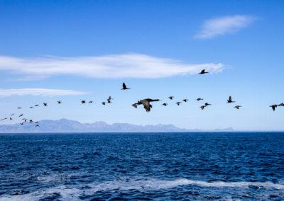 Cormorans, Afrique du Sud
